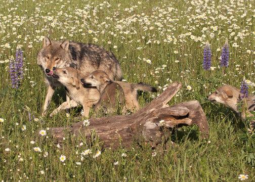 Playful Wolf Pups
