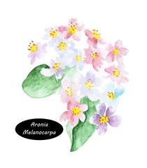 Aronia melanocarpa called the black chokeberry flowers blossom