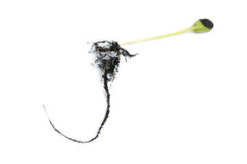 Germinating runner sunflower seed