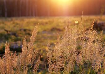 Tuft grass Calamagrostis epigeios on a sunset.