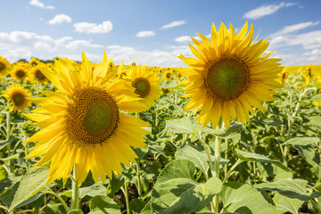 two sunflowers on the field under blue sky