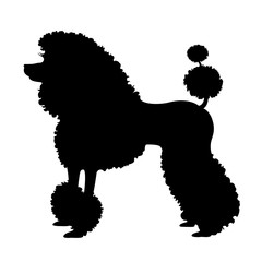 Purebred poodle dog, elite poodle with pedigree. Vector Illustration