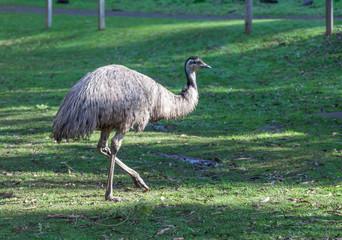 Native Australian Emu flightless bird portrait