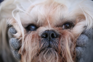 Image of fluffy cute muzzle shih-tzu dog, close up