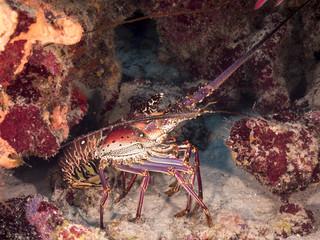 Unterwasser - Riff - Languste - Tauchen - Curacao - Karibik