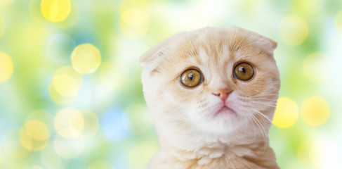 close up of scottish fold kitten over green lights
