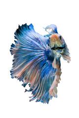Foto op Canvas Vissen betta fish, siamese fighting fish