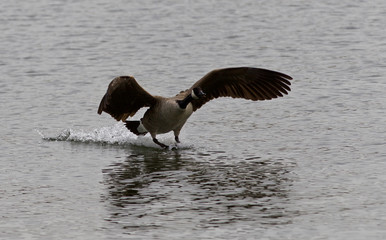 Isolated photo of the landing Canada goose