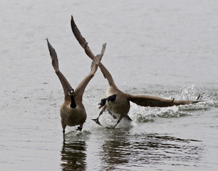 Expressive isolated image with the Canada goose chasing his rival