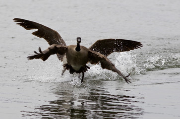 Expressive isolated photo with the Canada goose flying away from his rival