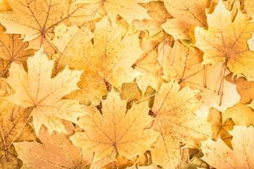 autumn background of many big yellow maple leaf