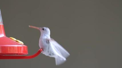 Fotoväggar - Albino / Leucistic  Ruby-throated Hummingbird (archilochus colubris) at a feeder with a green background