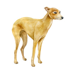 Watercolor closeup portrait of Italian Greyhound breed dog isolated on abstract background. Shorthair small smooth dog posing at dog show. Hand drawn sweet home pet. Greeting card design. Clip art