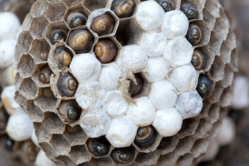 Wasp Nest with Larvae Macro