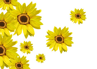 Flowers sunflower isolated on white. Floral background