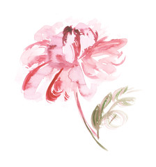 pink peon flower watercolor illustration.