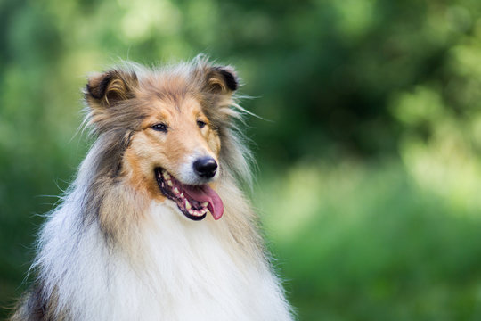 Cute gold long haired rough collie portrait