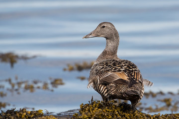 Common eider female (Somateria mollissima), Iceland