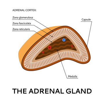 The adrenal gland, medical scheme, illustration from the point of view