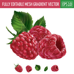 Raspberries on white background. Vector illustration