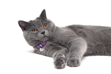 gray cat with yellow eyes in purple collar on a white background