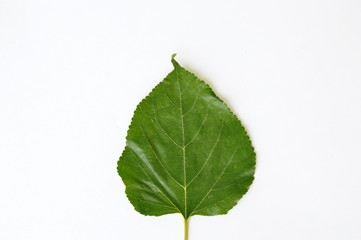 mulberry leaf texture on white background