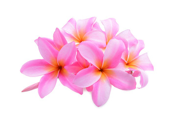 Tropical flowers pink frangipani/ plumeria flower with water dro