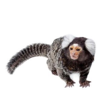 The common marmoset on white