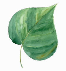 linden leaf, single, green, white background, watercolor painting, realistic illustration