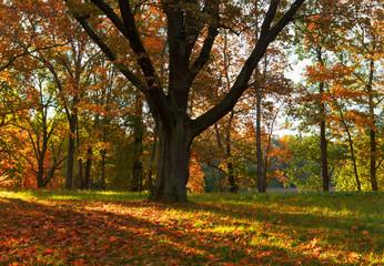 Oak tree in fall. Beautiful autumn