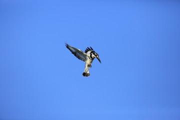 Pied Kingfisher flying over sky (Ceryle rudis) in Queen Elizabeth National Park, Uganda