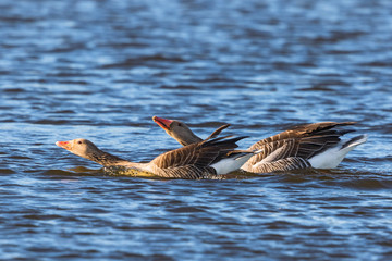 Greylag geese in mating ritual in the lake
