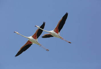 A pair of Greater Flamingos flying