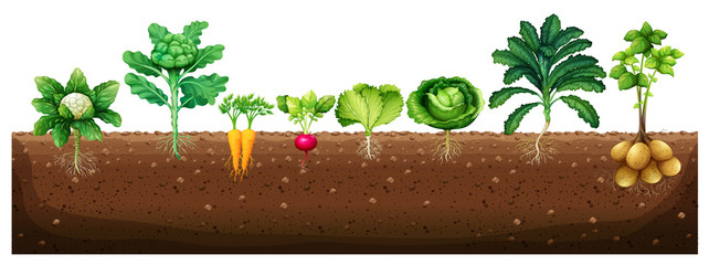 Vegetables growing from underground