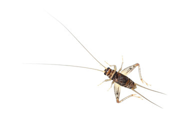 one cricket isolated on white