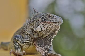 Leguan - Inguana - Reptil - Echse - Curacao - Karibik