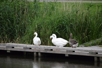 geese on the wooden deck