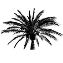 Palme schwarz, freigestellt