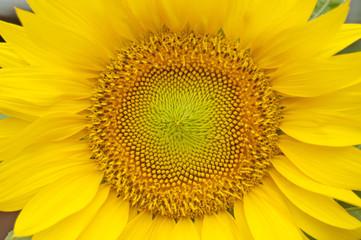 Sunflowers macro