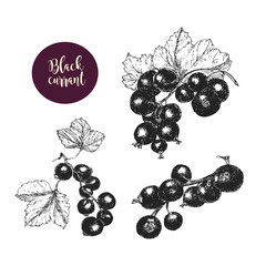 Hand drawn black currant stems in vector