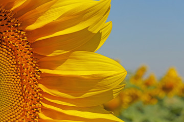 close up of sunflower head over field