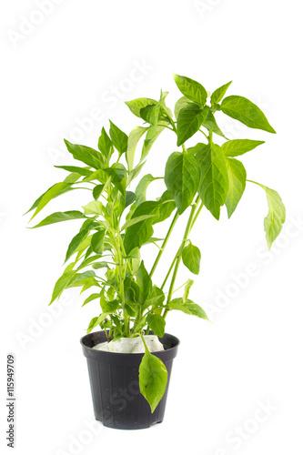 Pianta di peperoncino in vaso fotos de archivo e for Peperoncino in vaso