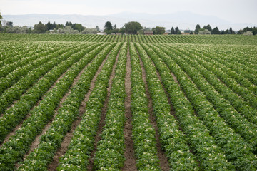 Potato Plants Grow Idaho Farm Agriculture Food Crop