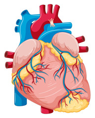 Human heart with fat and blood