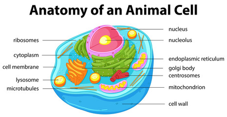 Diagram showing anatomy of animal cell