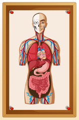 Human anatomy posted on brown board