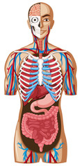 Human anatomy with different systems