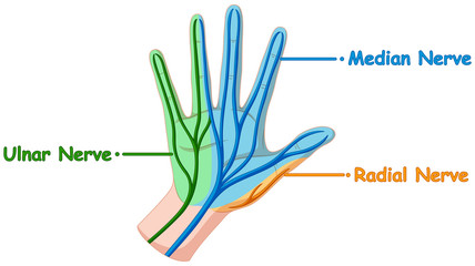 Diagram showing hand nerve