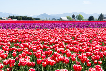 Tulip fields during Skagit Valley Tulip Festival - Mount Vernon, Washington state