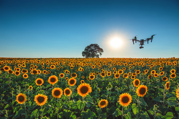 Flying drone and sunflower wheat field